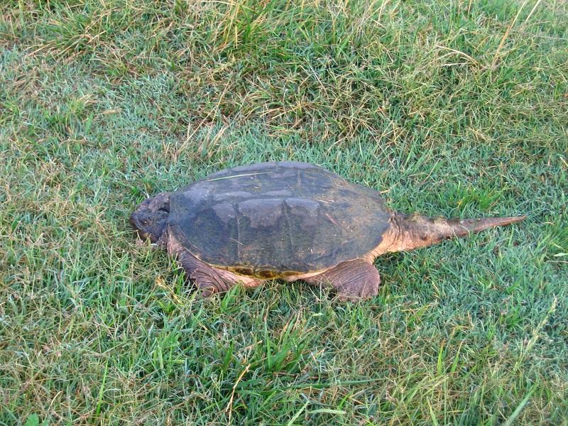 turtleJonLobenstineResized
